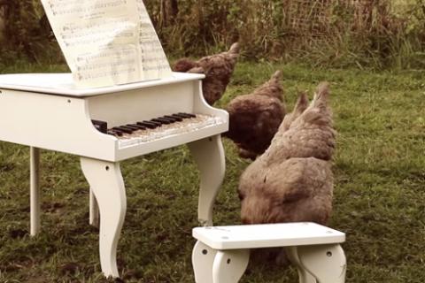 Găina care cântă la pian
