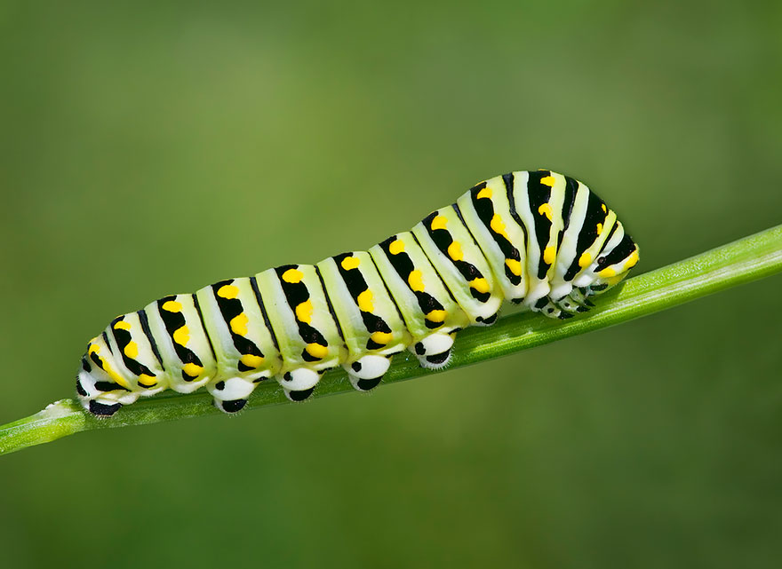 caterpillar-moth-butterfly-before-after-metamorphosis-5-1