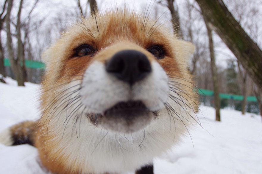 zao-fox-village-japan-5