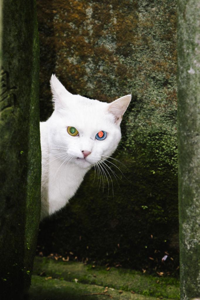 Fushimi-Inari-White-Cat-Eyes__700