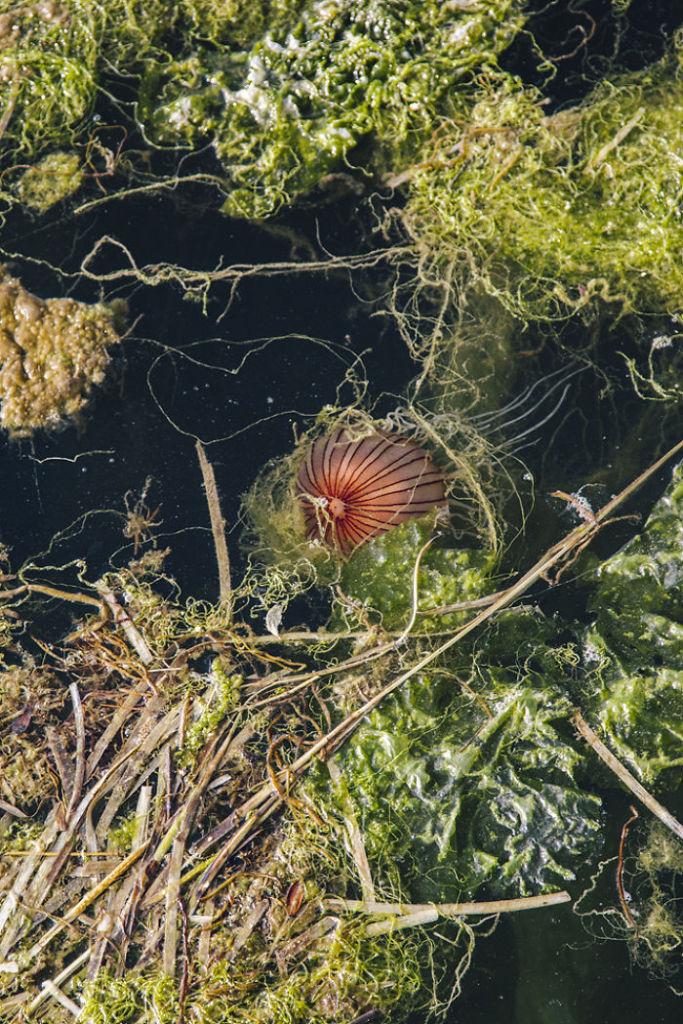 Jellyfish-Algae__700